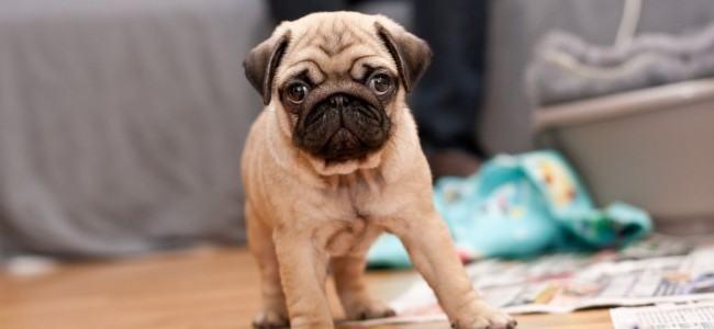 Como é o primeiro mês do cão em casa?