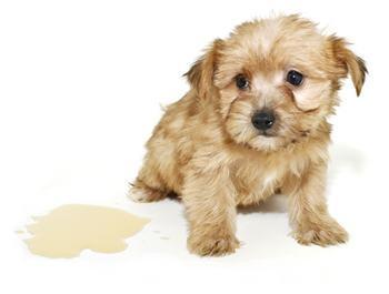 Incontinência urinária em cães