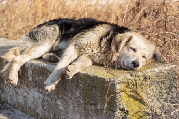 Linfoma em cães