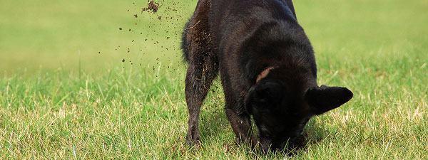 Como fazer o cão parar de cavar no jardim?