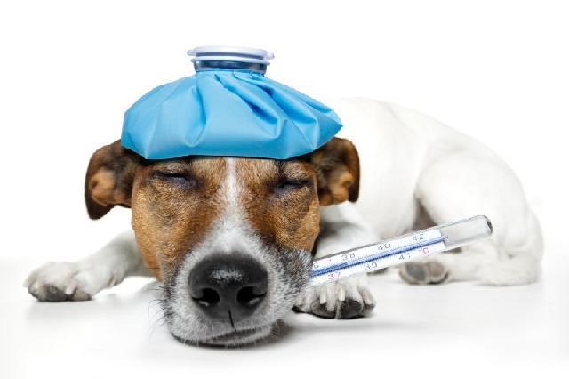 Febre nos cachorros - Como reconhecer?
