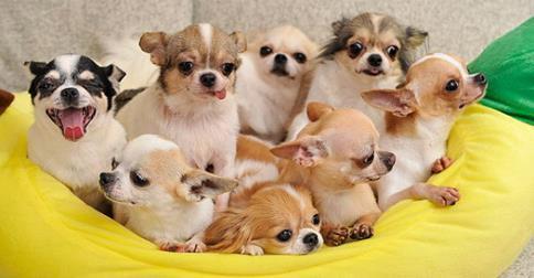 Raças de cachorro que vivem mais tempo