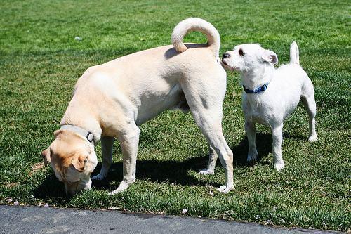 Por que cães cheiram o traseiro uns dos outros?