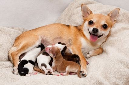 Cuidados na gravidez da cadela