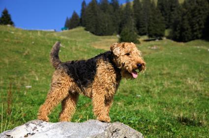 As raças de cachorros que soltam menos pelo