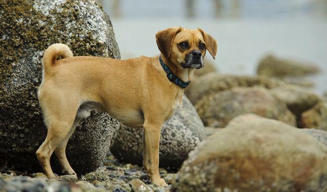 As raças de cachorro mais quietas