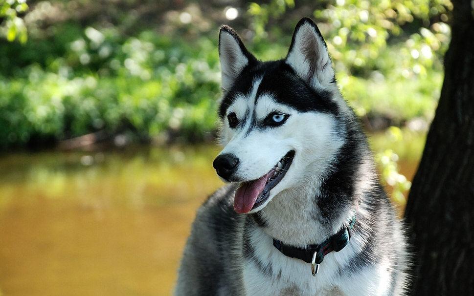 Curiosidades sobre o Husky Siberiano
