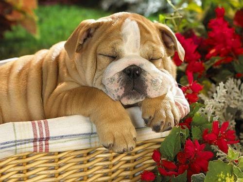 Por que o cachorro tem o sono agitado?