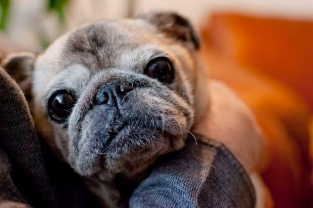 Atenção aos sinais de doenças em cães idosos