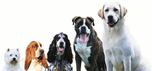 De onde surgiram tantas raças de cachorro?