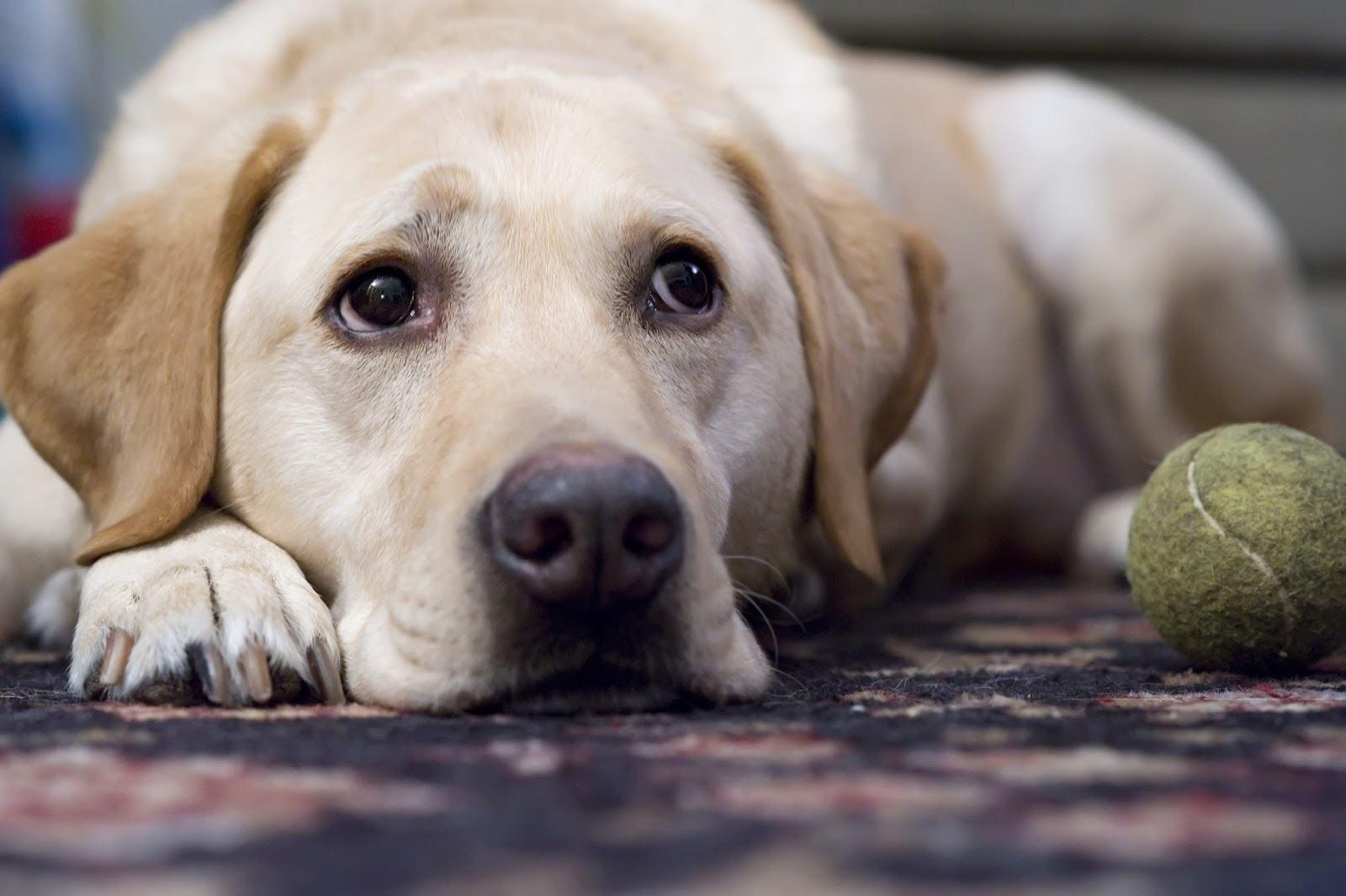 Depressão em cães