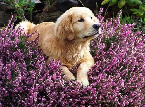 Florais de Bach para cães que latem muito