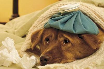 Hérnia umbilical em cachorros