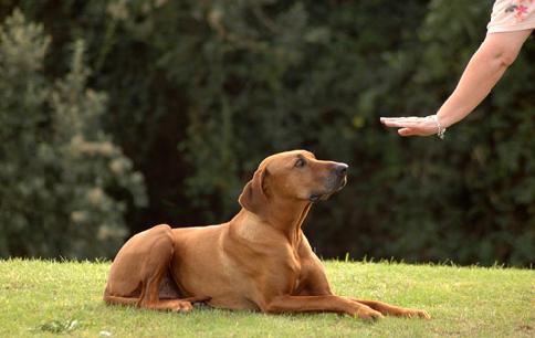 """Como ensinar o comando """"fica"""" ao cachorro?"""