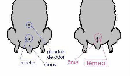 Como saber se o filhote é macho ou fêmea?