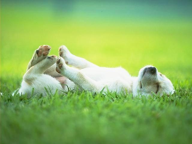 """Ensine ao seu cachorro o comando """"rola"""""""