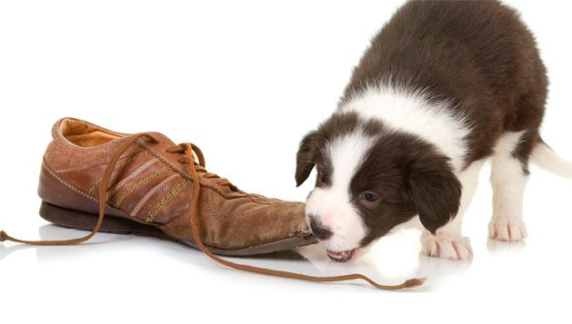 Filhotes de cães mordendo muito - Isso é normal?