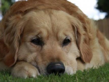 Doença não é rara e pode acometer cães de raças diversas