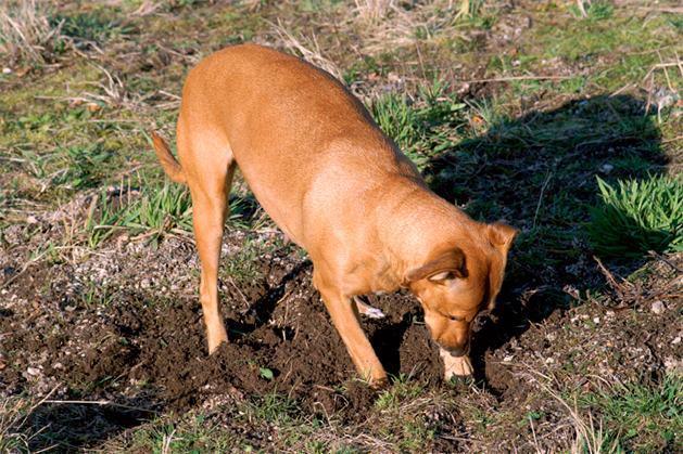 O cão está comendo terra? Saiba o porquê e como agir