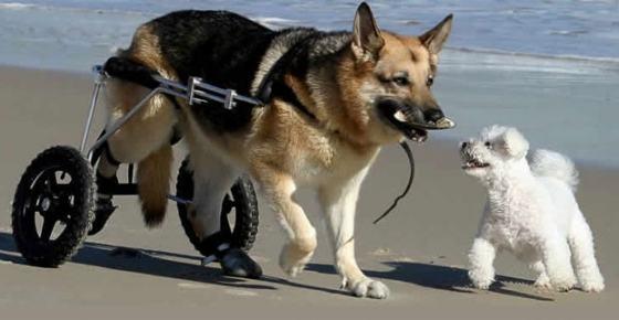 Paralisia em cães: causas e tratamentos