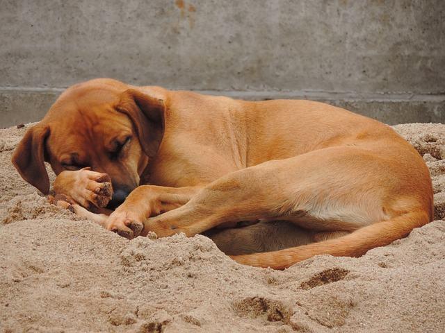 Por que meu cachorro cava antes de deitar?