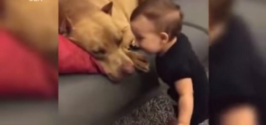 Pais encorajam bebê a beijar pit bull e vídeo levanta debates