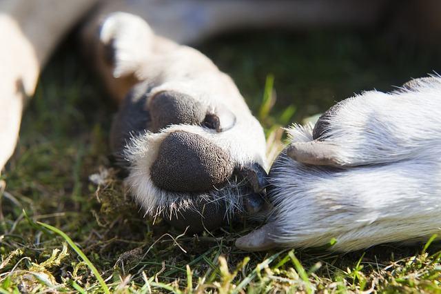 Calos em cachorros: trate sem complicação