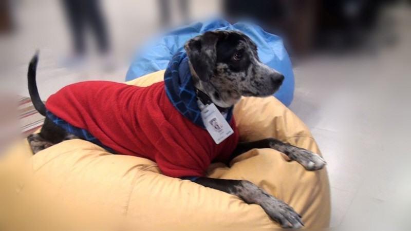 Cão ganha crachá é adotado como 'funcionário' por empresa em SC