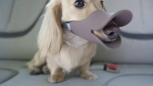 Focinheira: aliada ou inimiga do cão?