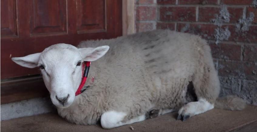Jack: a adorável ovelha que pensa que é um cachorro