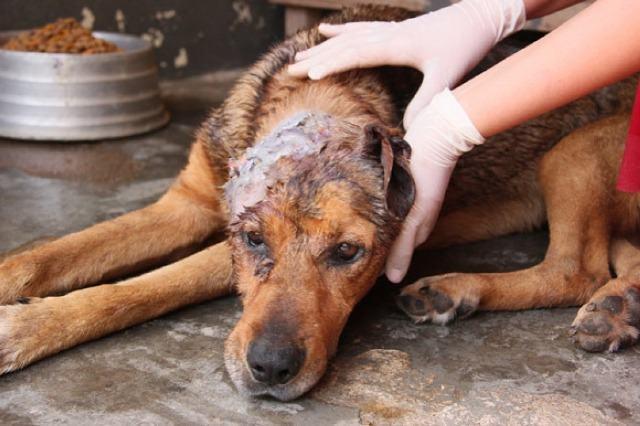 Tratando ferimentos e sangramentos em cachorros