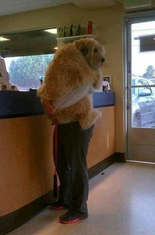 10-cachorros-que-ainda-nao-perceberam-que-sao-enormes