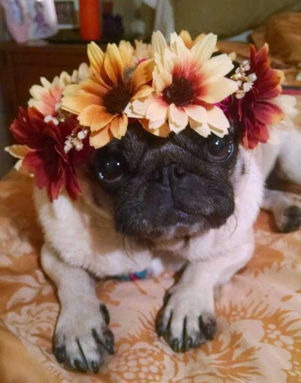 cao-que-adora-flores
