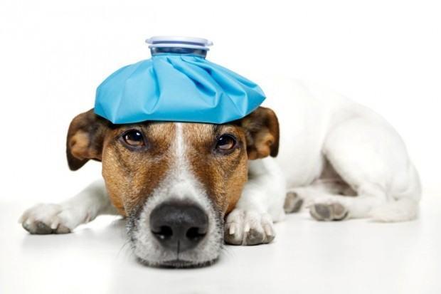 Como medir a temperatura de meu cachorro?