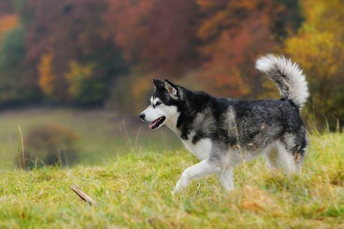 Dez raças caninas que mais se parecem com lobos