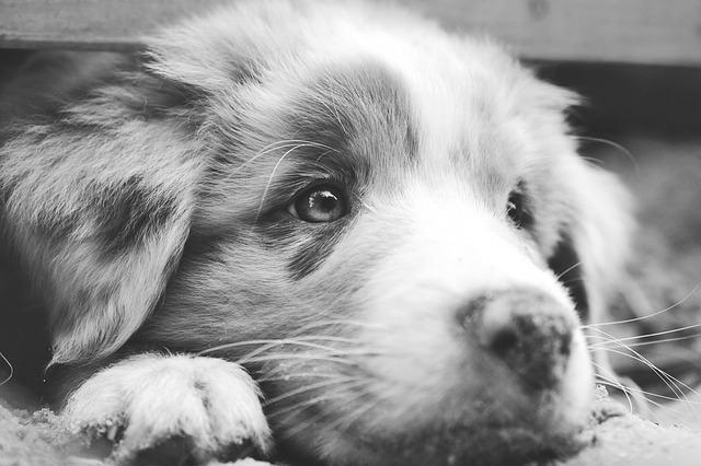 Entenda sobre a atrofia progressiva da retina em cães