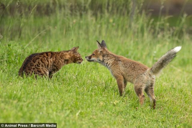Laço maternal inesperado: cadela 'adota' filhote órfão de raposa