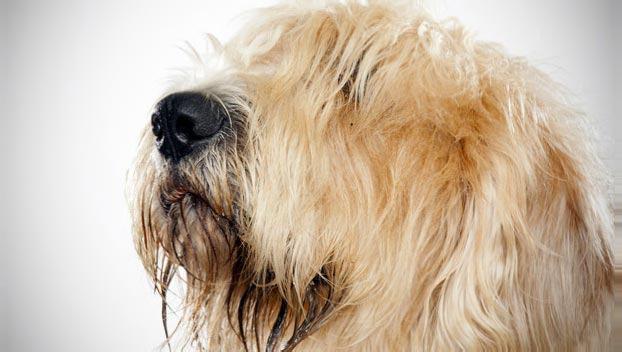 'Muda': a renovação de pelos canino