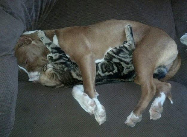 o-pit-bull-super-amigo-dos-felinos