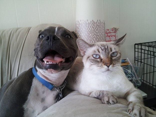 pit-bull-amigo-do-felino
