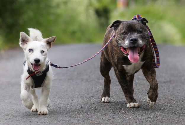 pit bull-amigo-dos-caes