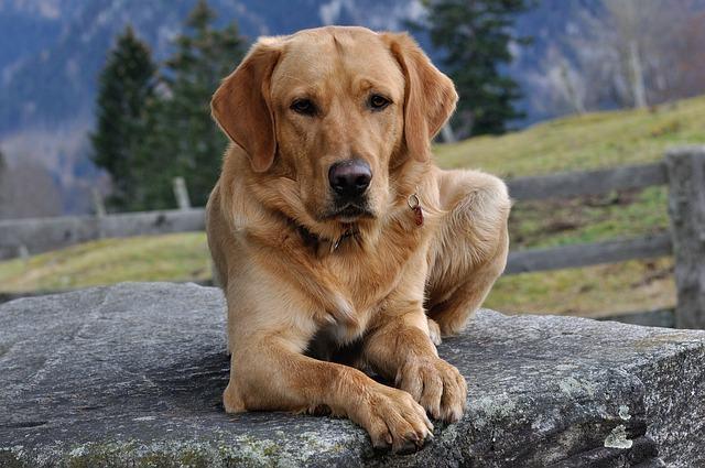 30 nomes que combinam com cachorros da raça labrador