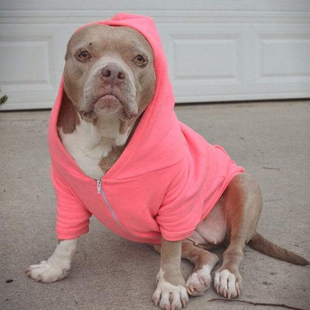 Após ter as orelhas arrancadas, pitbull 'ensina' que cães não são perigosos