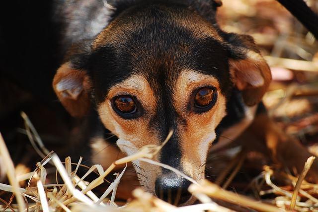 Brucelose em cães: como tratar de forma eficaz?