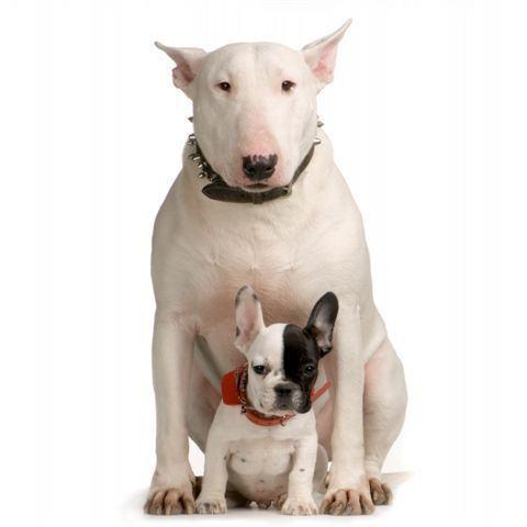 Bull terrier com filhote
