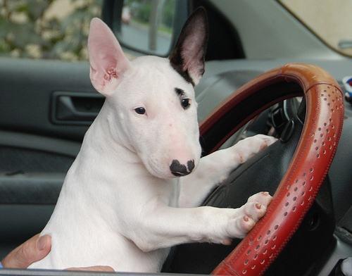 Bull terrier em volante de carro