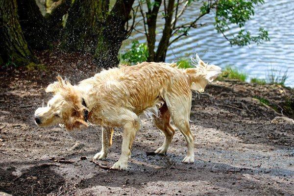 Cachorro após banho de lago