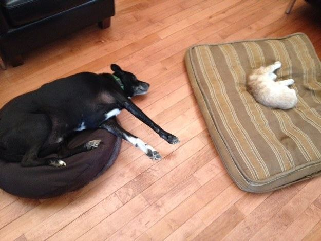 Cachorro e gato deitados em camas