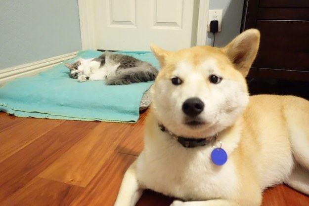 Cachorro perto de gato em cama