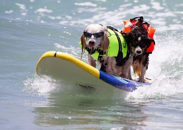 cachorros-aventureiros-surfando
